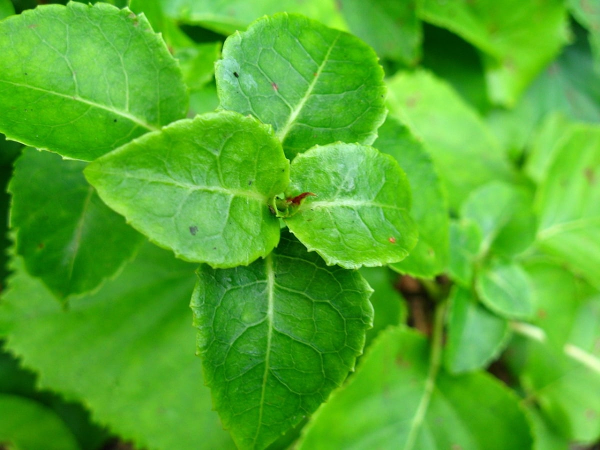 La hortensia trepadora es una caducifolia que tiene flores blancas