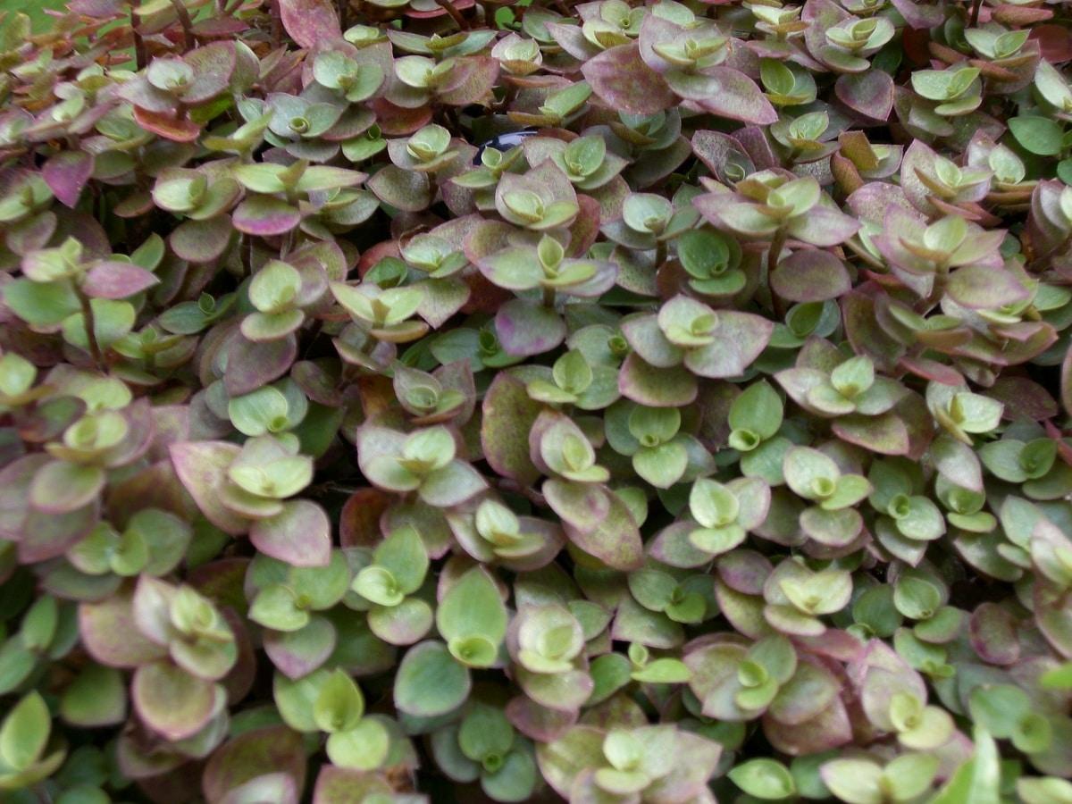 hojas de las plantas suculentas