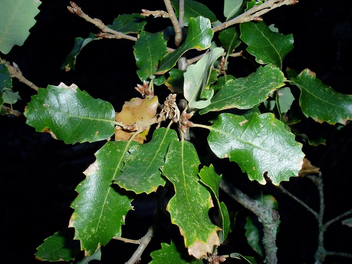 hojas del quercus faginea