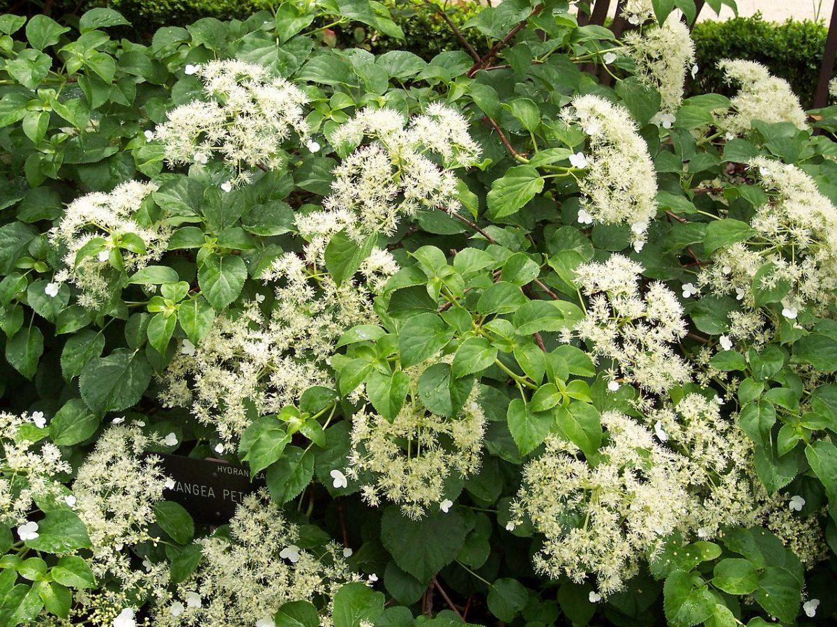 La hortensia trepadora es una planta que pierde las hojas en invierno