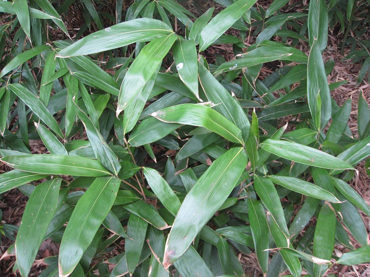 Es posible hacer un bosque de bambú con Indocalamus