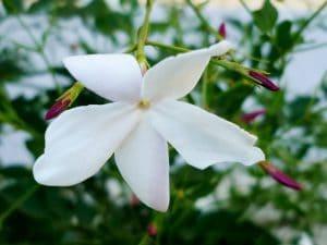 El jazmín tiene flores blancas o amarillas