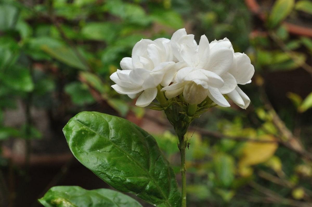 El Jasminum sambac es una planta que produce flores aromáticas
