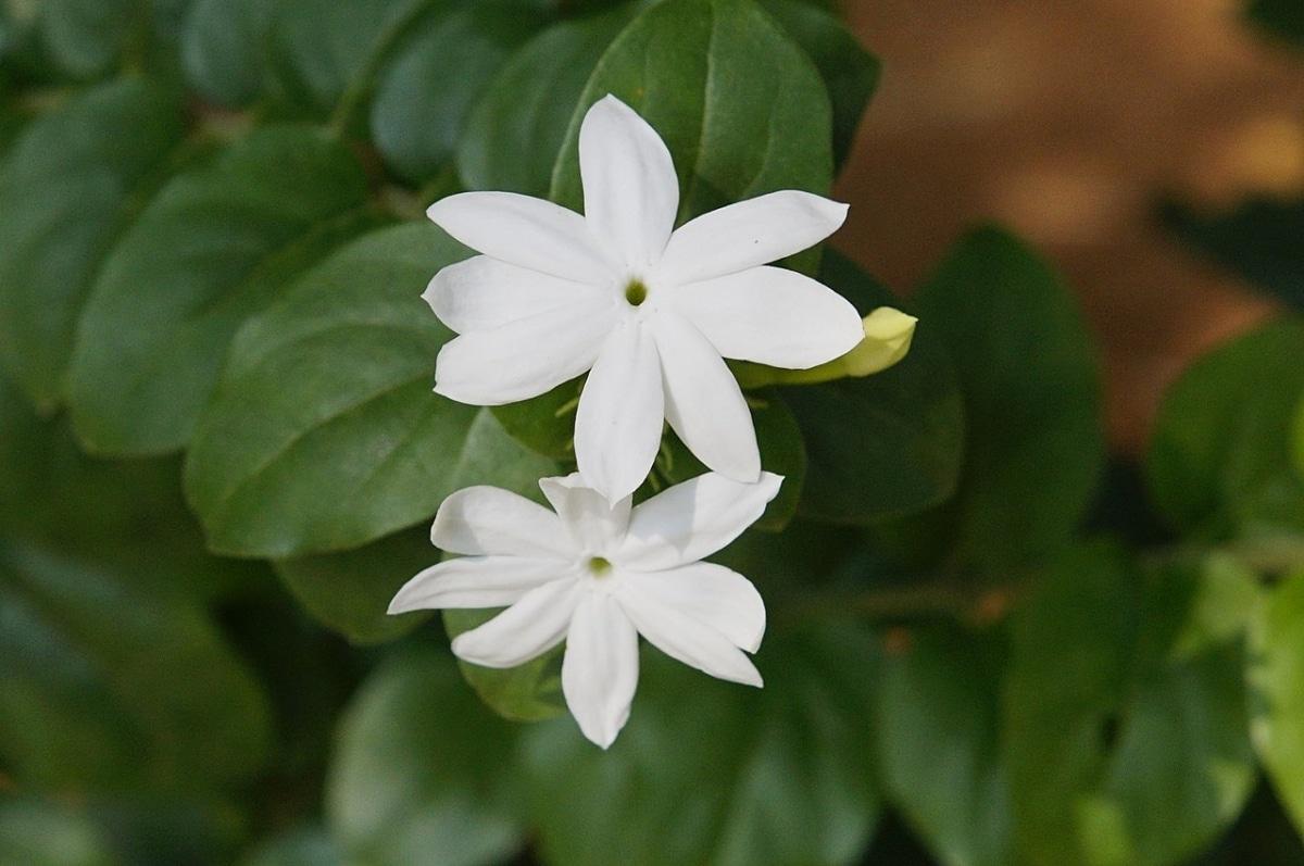 El jazmín común es una planta de flores blancas