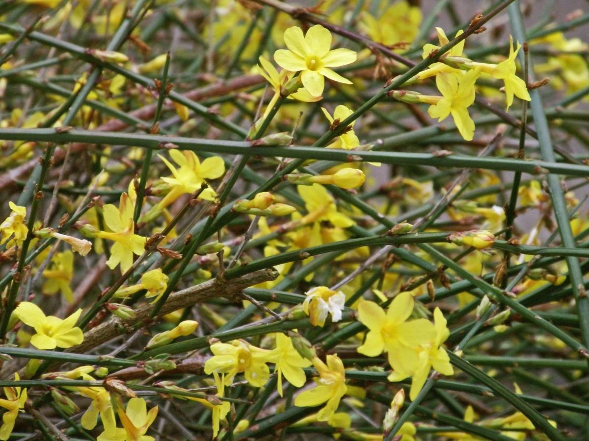 El jazmín de invierno es una trepadora que pierde sus hojas y florece en invierno