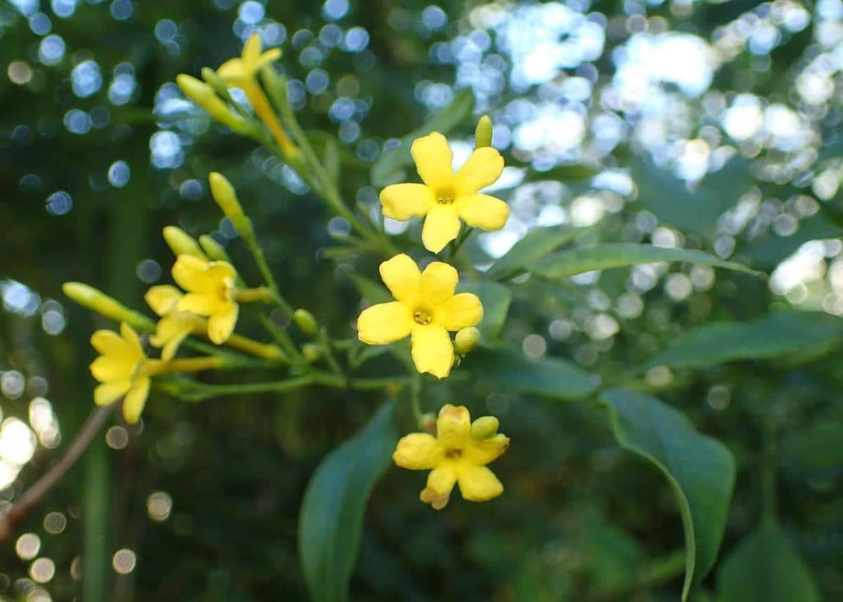 El jazmín produce flores olorosas