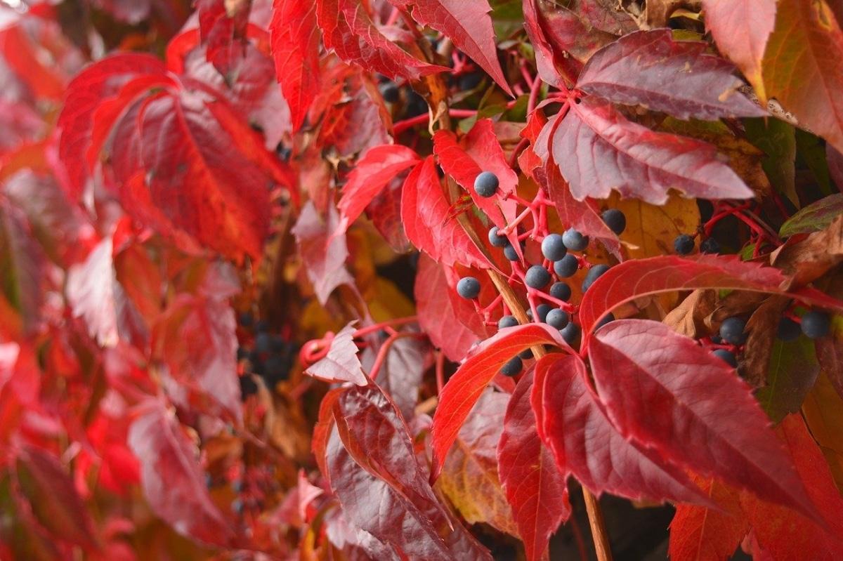La parra virgen es una trepadora que se viste de rojo durante el otoño antes de que llegue el frío