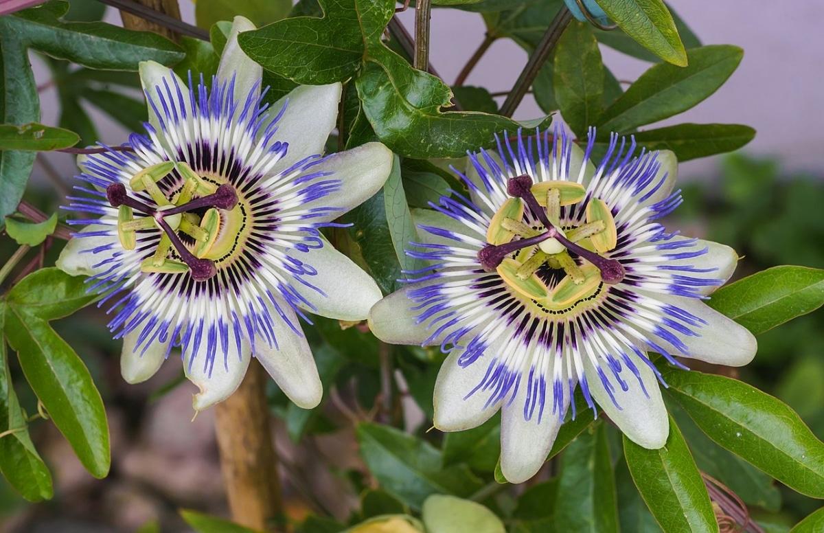 La flor de la pasión es una trepadora de flores azules
