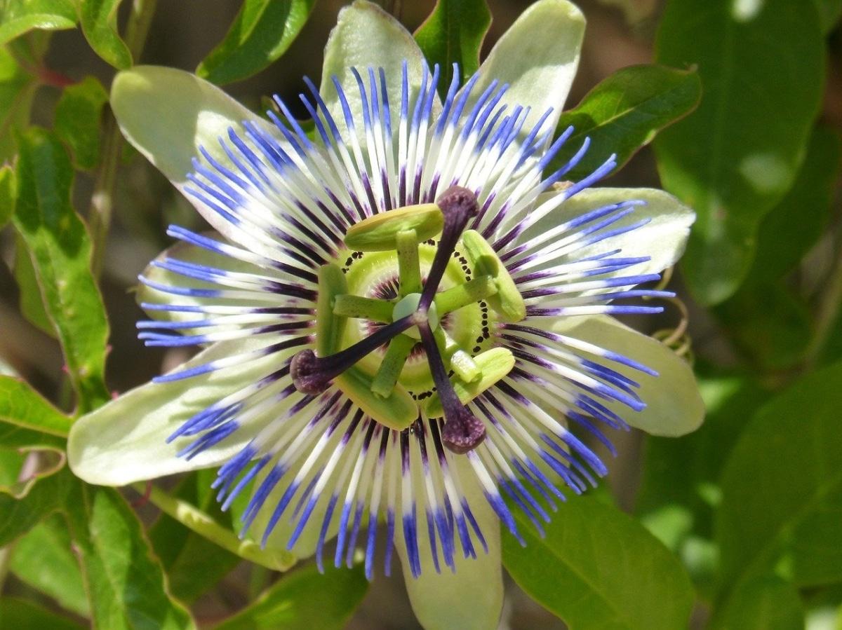 La passiflora azul es una planta de rápido crecimiento