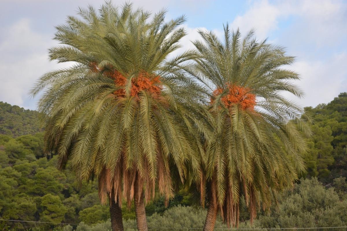 La Phoenix theoprasti es una palmera multicaule