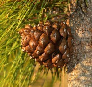 El pino piñonero es un cultivo de secano