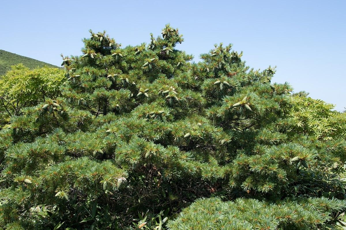 El pino enano es una conífera perennifolia