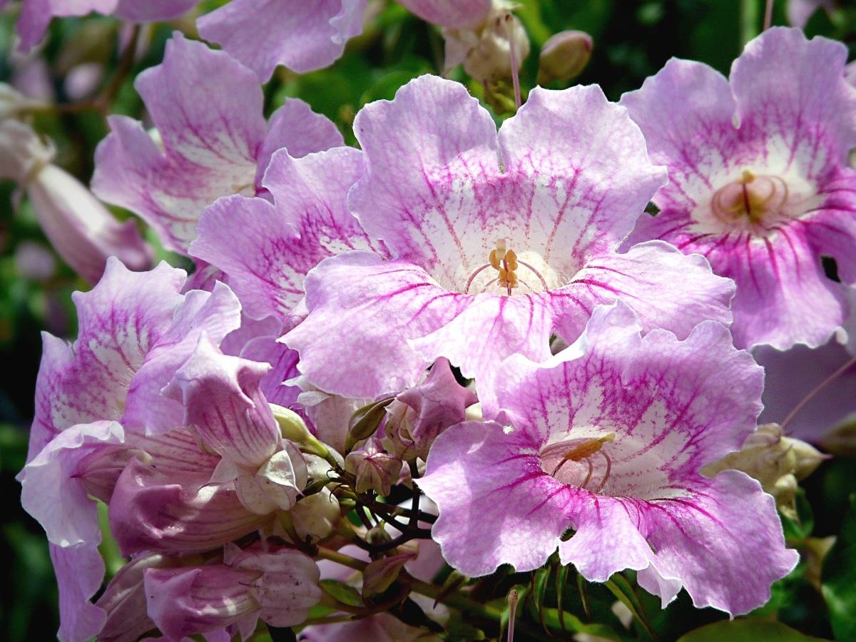 La Podranea es una trepadora de flor rosa