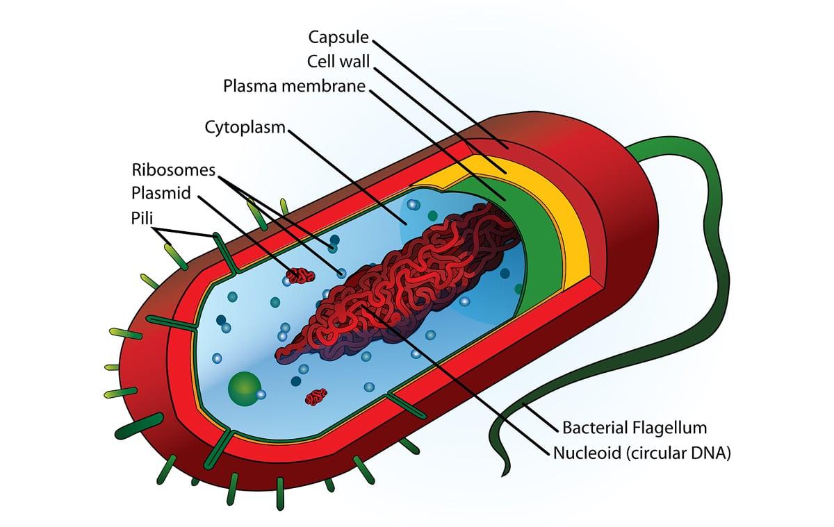 Los ribosomas se encuentran en el citosol, entre otros