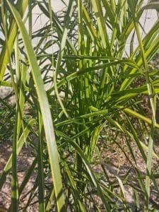 Syagrus coronata verde, después de meses de tratamiento