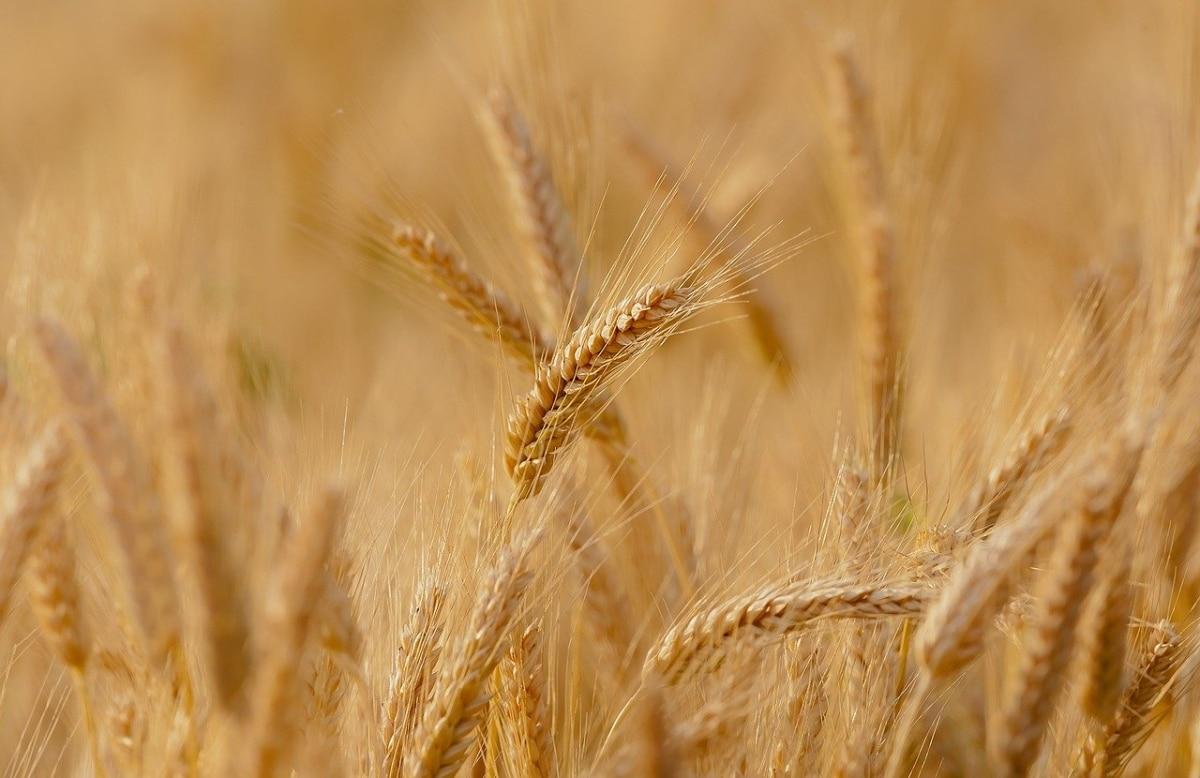 El trigo es un cultivo de secano