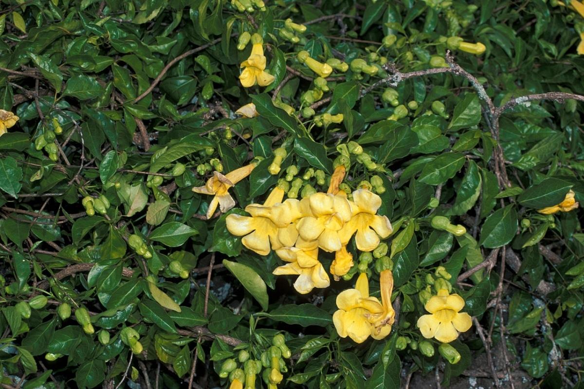 La uña de gato es una trepadora de flores amarillas