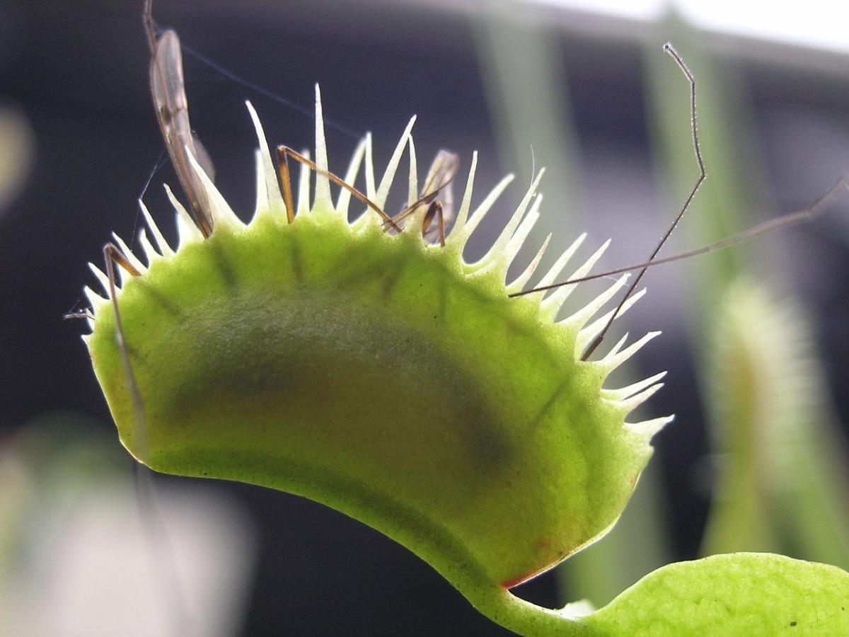 Las plantas carnívoras comen insectos