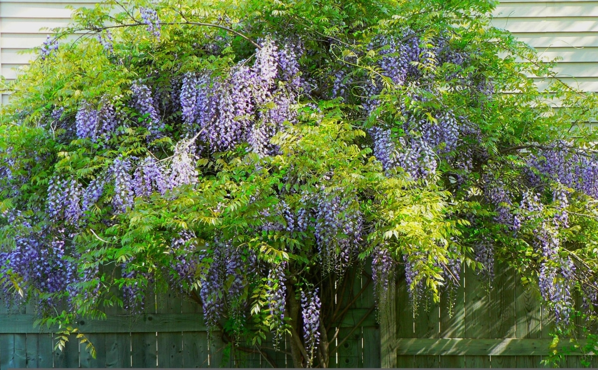 La wisteria es una trepadora de hoja caduca