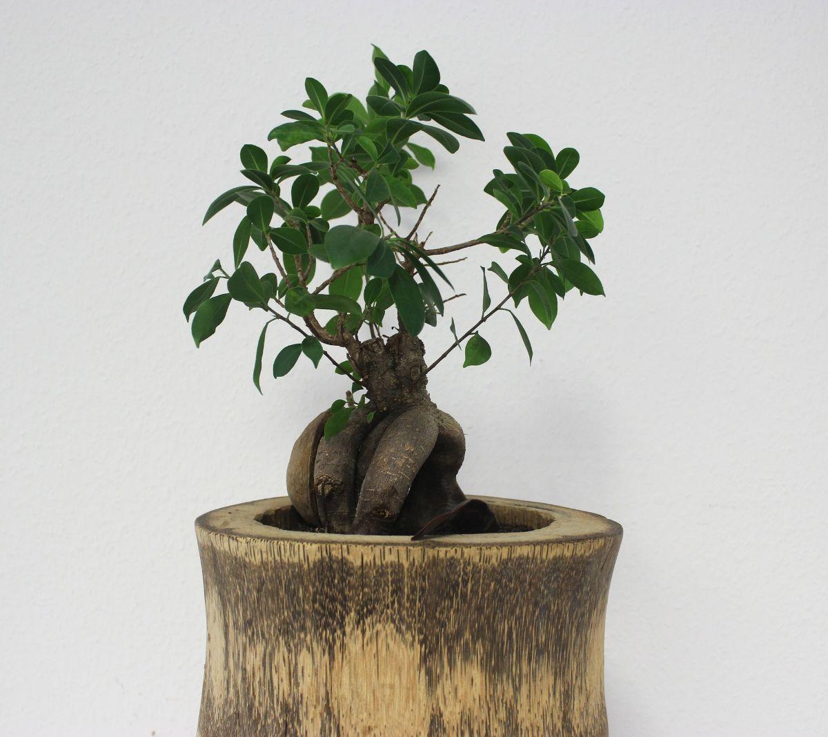 ¿Cómo regar un bonsai Ficus ginseng?