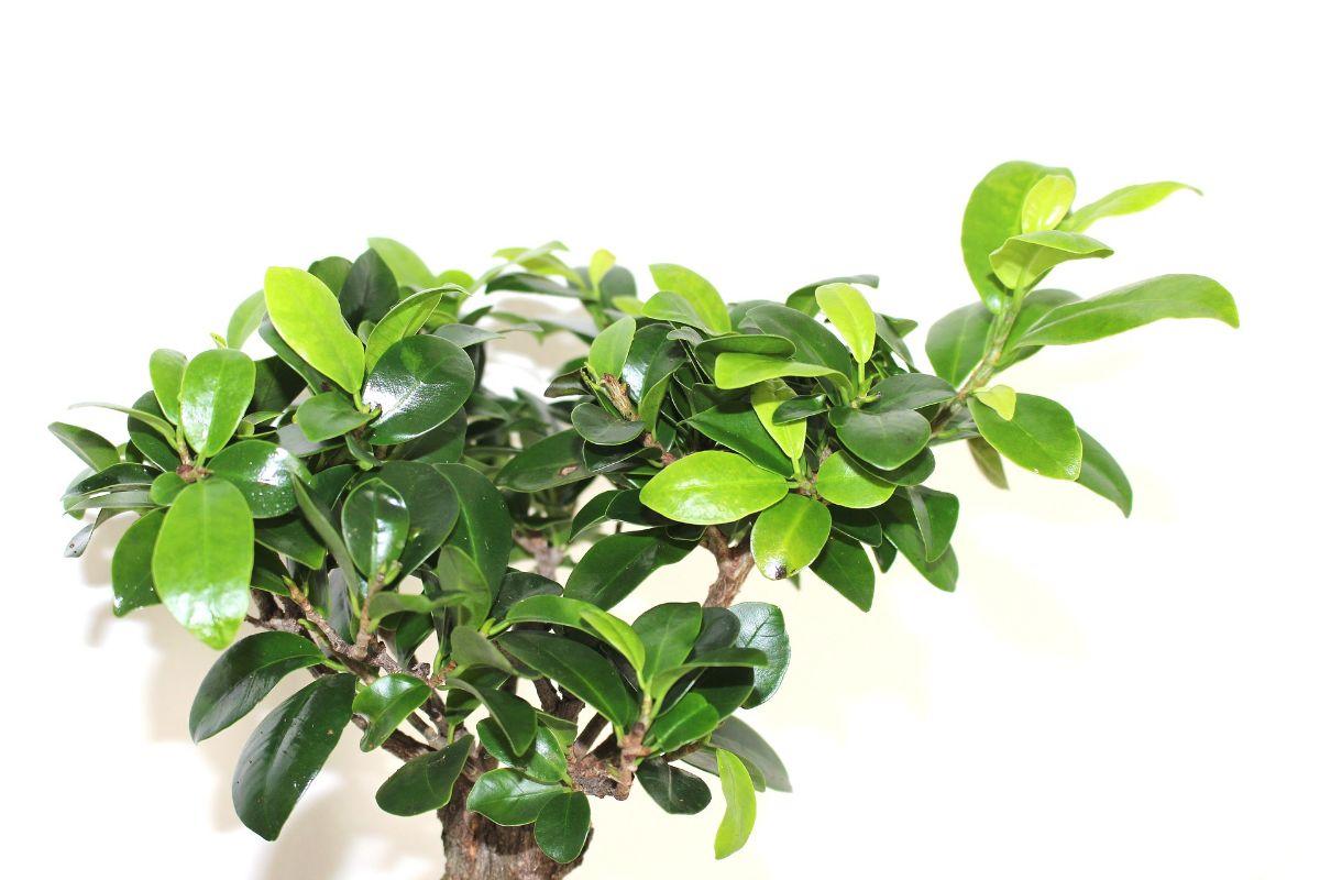 ¿Cómo y cuándo podar un bonsai Ficus ginseng?
