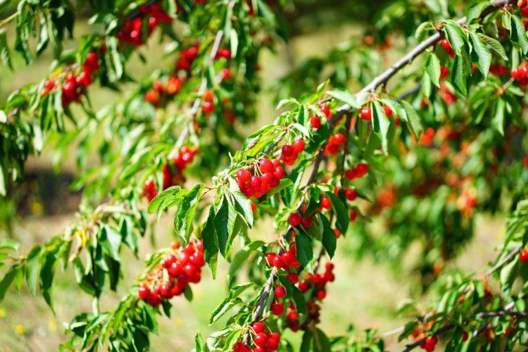 Como fumigar los árboles frutales
