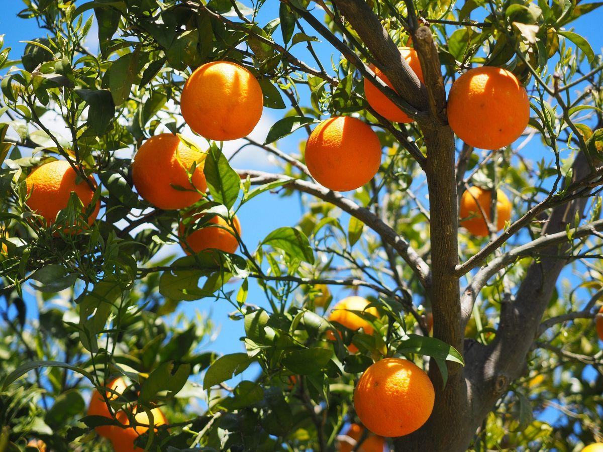 ¿Cuándo se deben fumigar los naranjos?