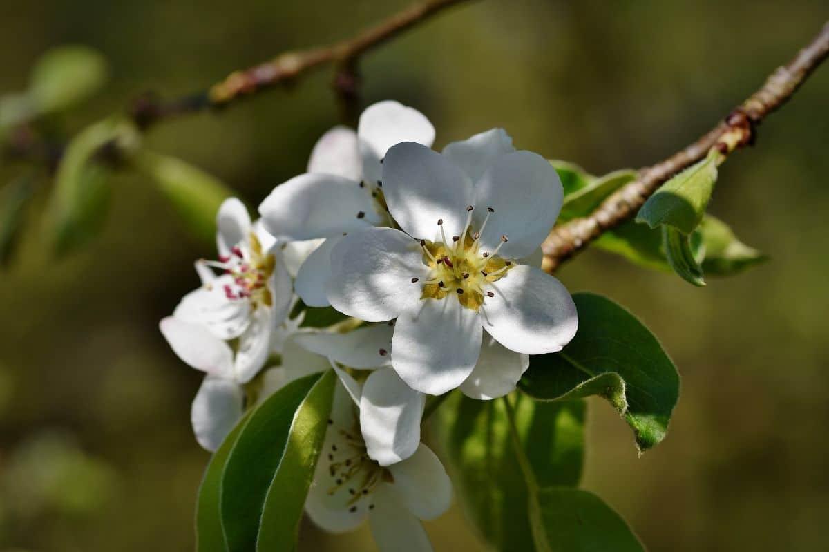 ¿Se pueden fumigar los árboles frutales en flor?