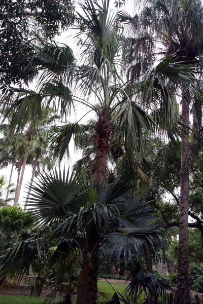 A Livistona mariae pálmafa