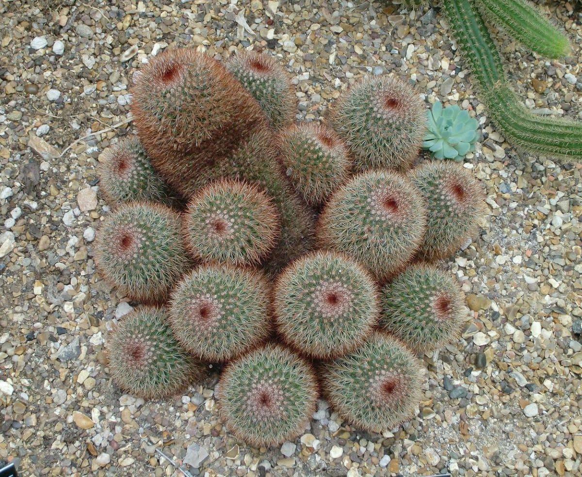 La Mammillaria spinosissima es un cactus globoso y mediano