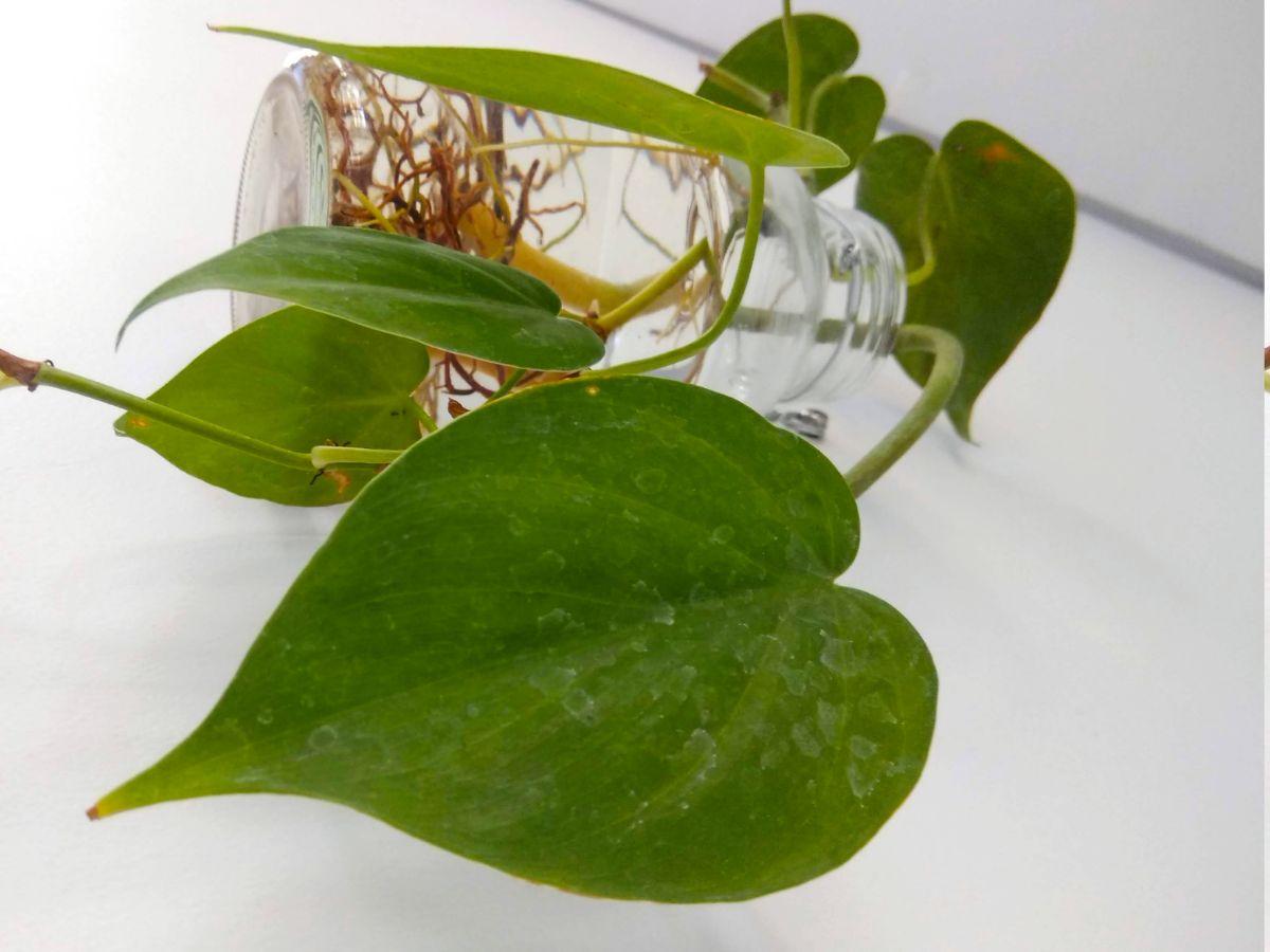 Qué es la Philodendron cordatum