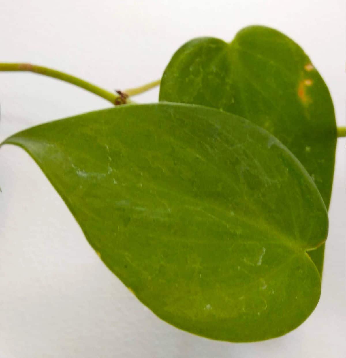 Plagas y enfermedades de la Philodendron cordatum