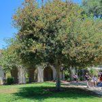 El Acer buergerianum es un árbol mediano
