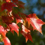 El Acer buergerianum se vuelve rojo en otoño