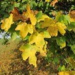 El Acer campestre se vuelve amarillo en otoño