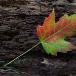 El Acer freemanii es un árbol de copa estrecha