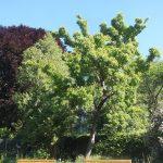 El Acer ginnala es un árbol caduco