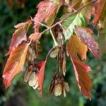 El Acer ginnala se vuelve precioso en otoño