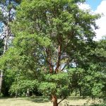 El Acer griseum es un árbol caducifolio