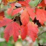 El Acer griseum es un árbol de tamaño medio
