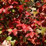 El Acer monspessulanum es un árbol que se vuelve rojo en otño
