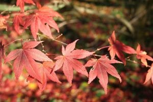 El Acer palmatum var Atropurpureum tiene las hojas rojas en otoño