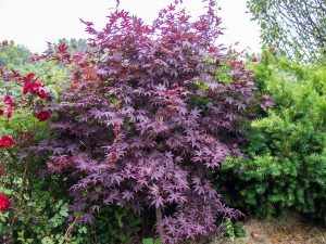 El Acer palmatum Bloodgood tiene las hojas púrpuras