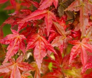 El Acer palmatun deshojo es un arce japonés pequeño