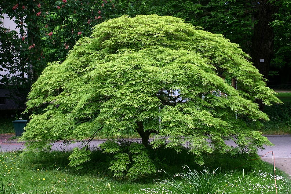 El Acer palmatum dissectum es un arbolito