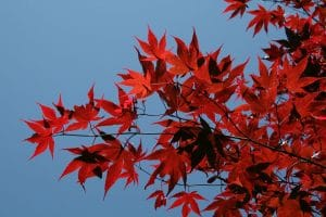 El Acer palmatum osakazuki se vuelve rojo durante el otoño