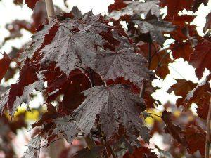 El Acer platanoides Crimson King tiene las hojas marrones