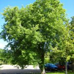 El Acer saccharinum es un arce verde