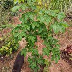 El Castaño de Indias se puede tener en un jardín