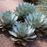 El Agave es una planta que quiere mucho sol